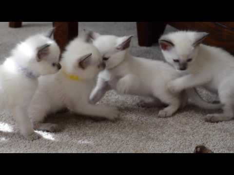 Balinese Kittens for Sale Siamese Kittens for sale