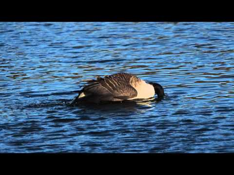 Canada Goose montebello parka outlet shop - Canada Goose calling out for his mate at Ingrebourne Valley on ...
