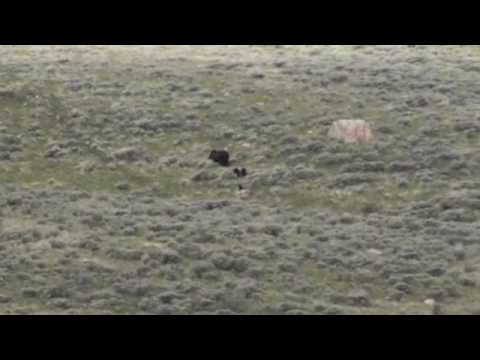 Yellowstone Grizzly Bear with 4 Cubs