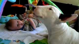 Aiden Baby With Diego The 'dangerous' English Bull Terrier Lol :) Xxxx