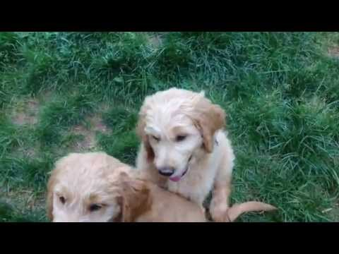 Goldendoodle Puppies - Being Prepared for Adoption...10 Commands