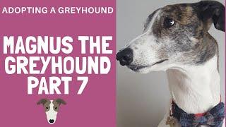 Greyhound adoption  Magnus gets a new coat