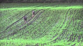 Roe deer hunt in Denmark - Jagt på rådyr