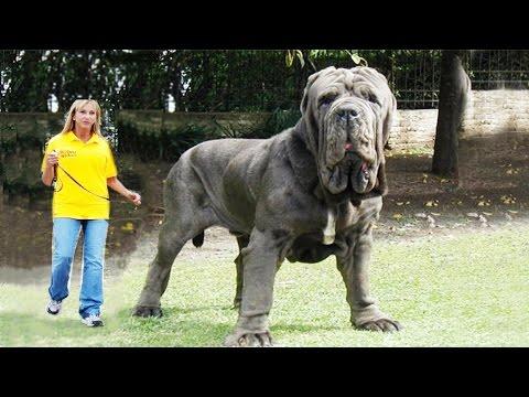 Самые большие собаки в мире YouTube