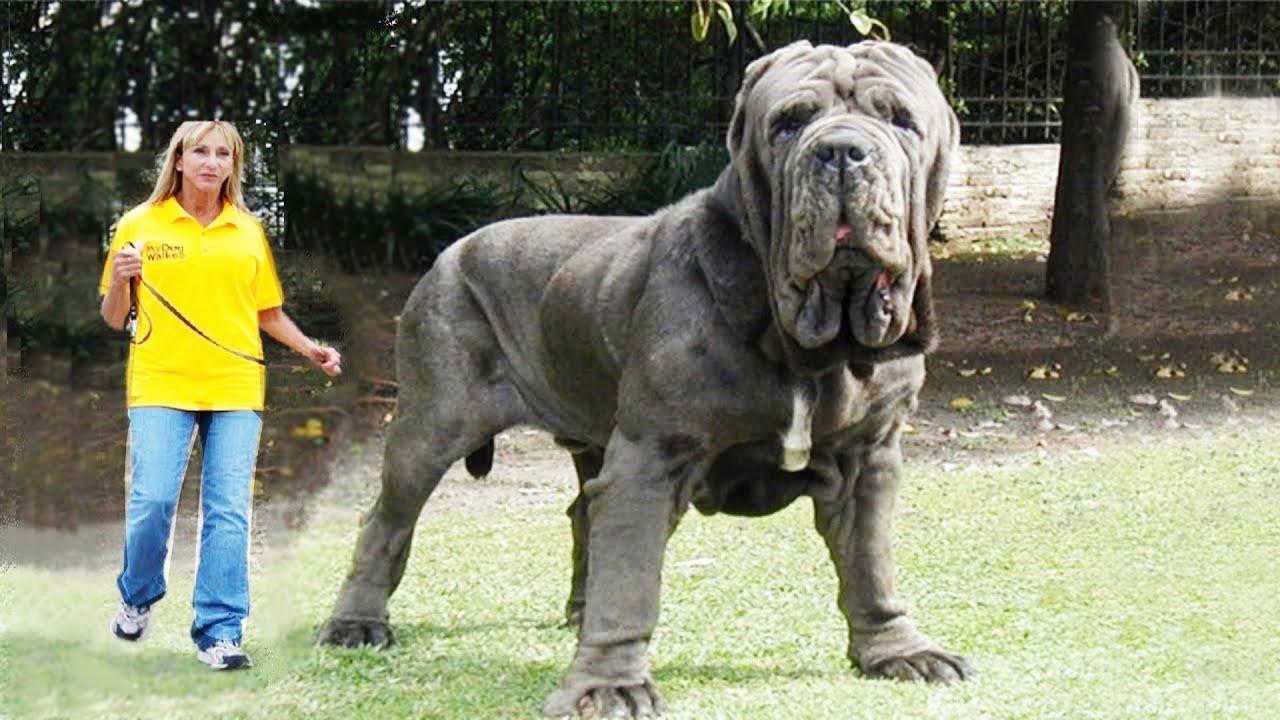 какая самая крупная собака в мире