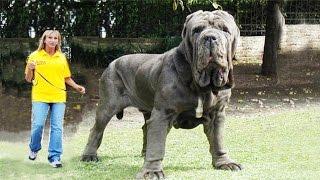 САМЫЕ ГИГАНТСКИЕ СОБАКИ В МИРЕ - ТОП 10(САМЫЕ ОГРОМНЫЕ СОБАКИ В МИРЕ - ТОП 10. Десятка самых больших и мощных собак Мира! (+) Подписывайтесь на ♛ТОПka..., 2015-11-10T11:42:02.000Z)