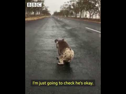 A thirsty koala licks rainwater off a road in New South Wales after heavy rain. click to find out 👆