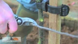 6 - Pruning a 2 year old fruit tree for a bush-sized adult tree