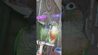 사이좋은?#앵무새 #코뉴어 #parrot