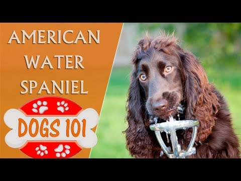 dogs-101---american-water-spaniel---top-dog-facts-about-the-american-water-spaniel
