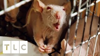 """""""The Rat Lady"""" Lives With Over 50 Hairless Rats! 