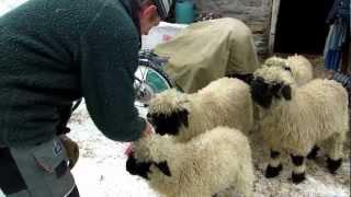 Zermatt, Switzerland Sheep Farm #2