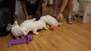 Coton Puppies For Sale - Biscuit 10/16/20