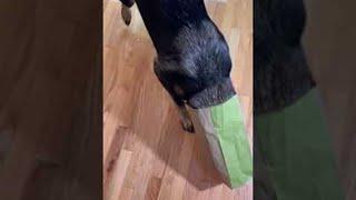 Dog Gets Head Stuck in Takeout Bag    ViralHog