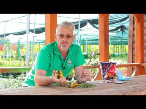 Фитофтороз на картофеле, томатах, перцах и баклажанах. Что делать?