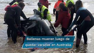 Al menos 380 ballenas piloto han muerto al quedar varadas en la costa de Australia, en el que es el peor episodio de este tipo del que se tiene registro