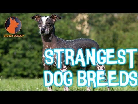 Weirdest Dog Breeds: From Mudi to Fila Brasileiro and Cute Bedlington Terriers