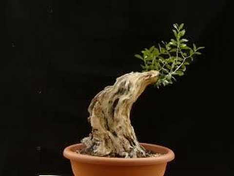 Bonsai olive (raw) - Wave
