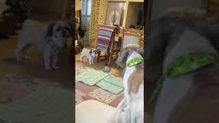 散髪後に興奮した犬の愛くるしい喧嘩です☺️