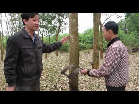 Bài giảng điện tử - Kỹ Thuật Cạo Và Sơ Chế Mủ Cao Su Tại Vườn Sản Xuất