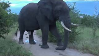 April 14, 2017- Very Large Elephant Bull in full Musth with James Hendry