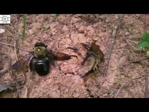 The Robber Fly And The Bumblebee