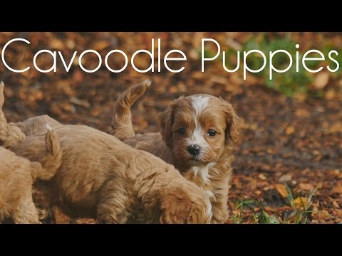 Cavoodle Puppies playing on the bark