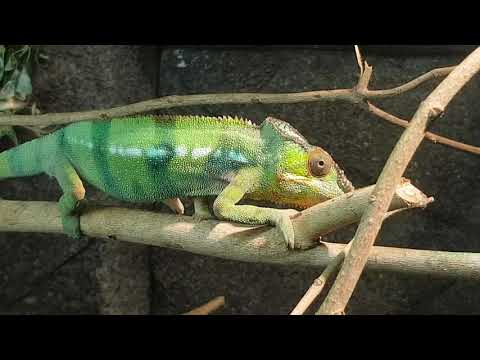 Reunion chameleon