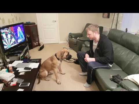basic-obedience-training-with-a-bullmastiff