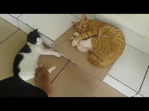 Funny Cat  Fighting Compilation Video  2017 Ever Try Not to Laugh | 2 Cats Fighting Funny