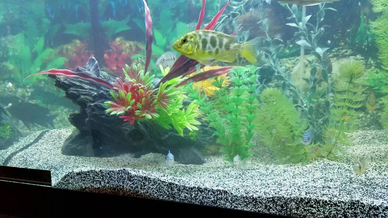Update My South American And African Cichlid Chichlids New Fish 05 16 2016 Youtube