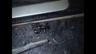 Escorpião vs Aranha Marrom