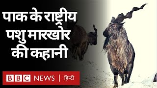 Pakistan के National Animal Markhor की इस ख़ास नस्ल पर कैसे छाया ख़तरा? (BBC Hindi)