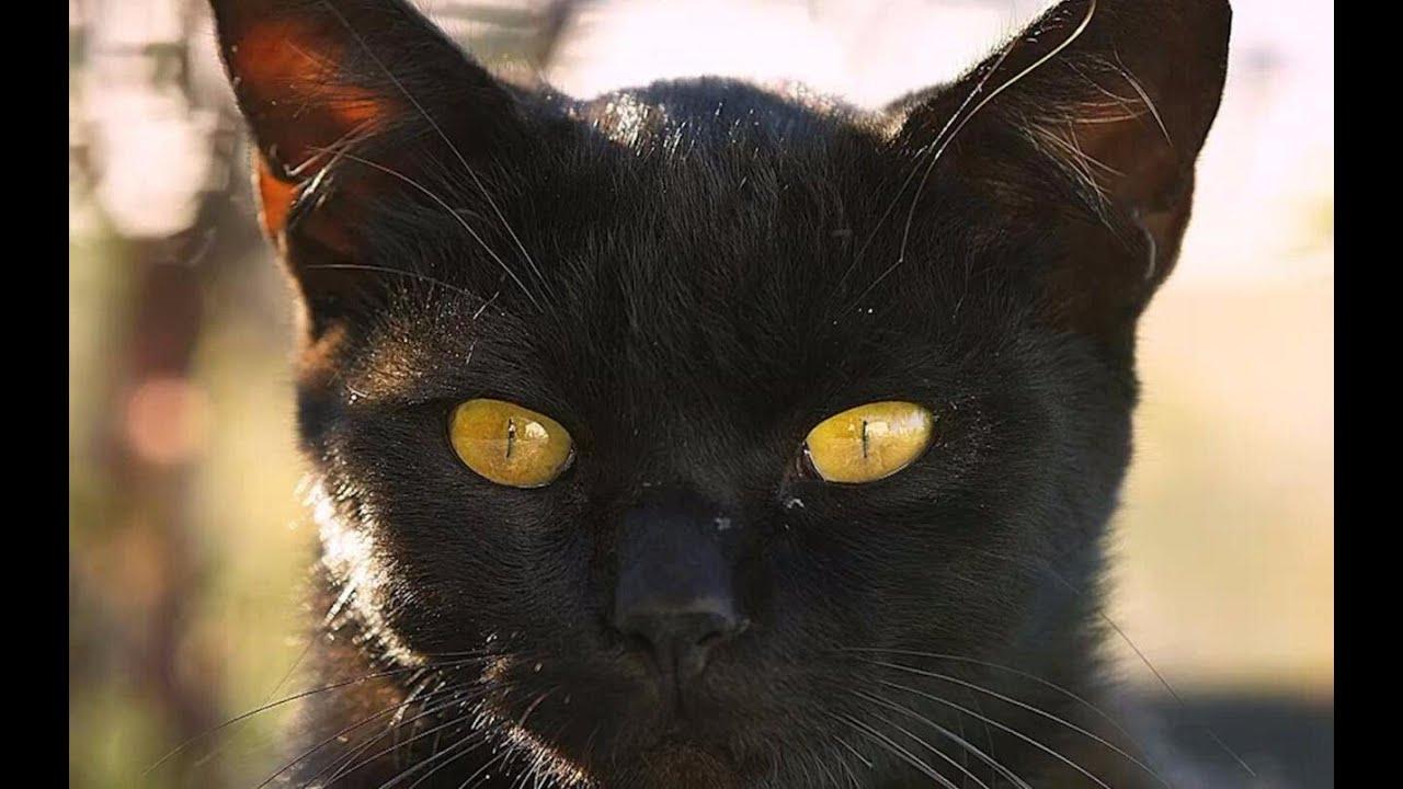 别再迷信了!3分钟告诉你黑猫为什么会带来厄运