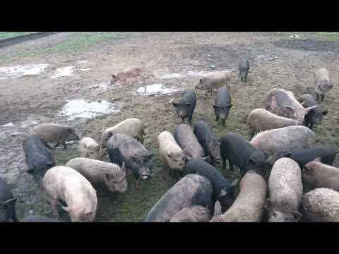 Свиньи  на мясо эко продукт Украина Харьков 0675736455