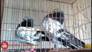 Bagha  Z Spring Pigeons pair in bd .rahman pigeons loft