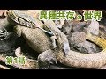 【第1話】先住オオトカゲのいる世界へ…共存開始からの 監視体制 (monitor lizard)