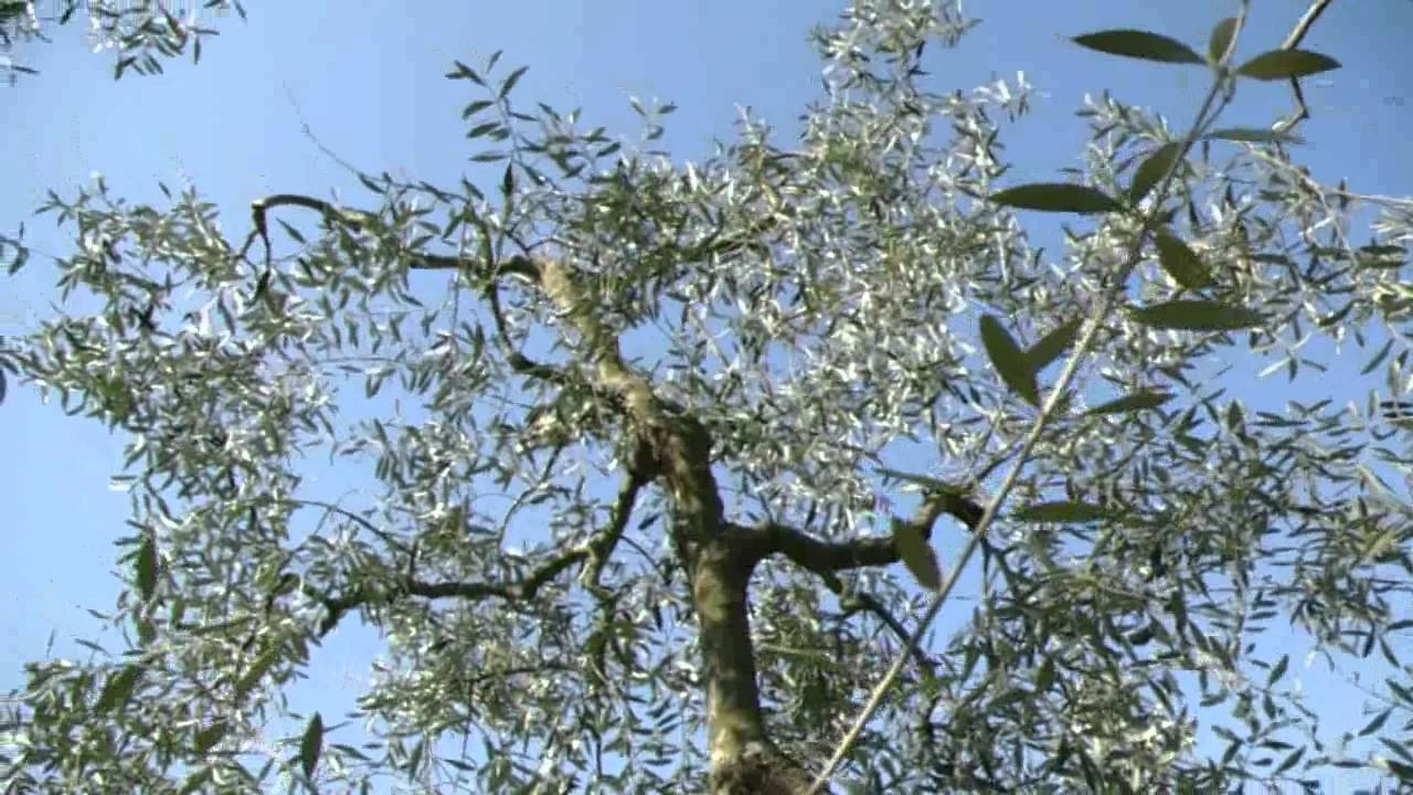 How to trim an ornamental olive tree garden design ideas for Pruning olive trees in pots