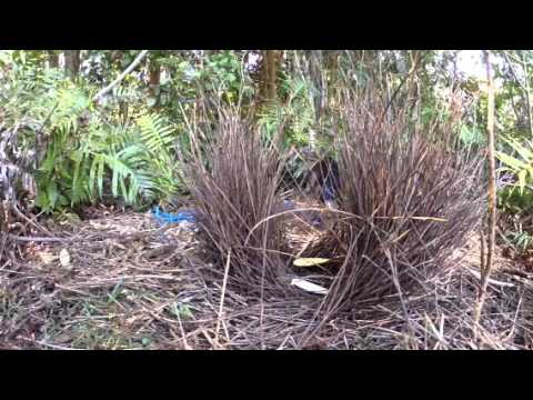 Bowerbird destroys rival's bower