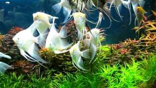 Planted Angel Fish Aquarium 1