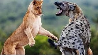 Lion Documentary National Geographic   BEST LION Vs HYENA DOCUMENTARY HD 2016