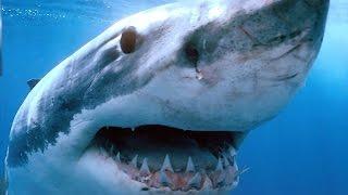 Топ 5 самых опасных акул для человека в МИРЕ!!Акула атакует!!!(Я подобрал для вас 5 самых опасных акул для человека Композиция
