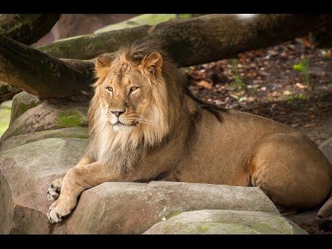 Een dag in het leven van onze leeuwen