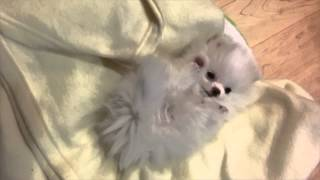 Cutest Vines Ever - Teacup Pomeranian