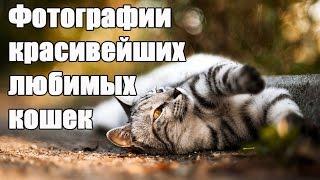 Самые лучшие фотографии красивейших  кошек