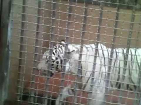 lahore zoo white tiger Travel Video