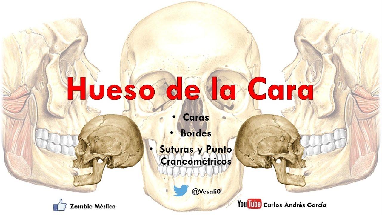Anatomía - Huesos de la Cara (Malar Cornete Inferior Palatino Huesos ...