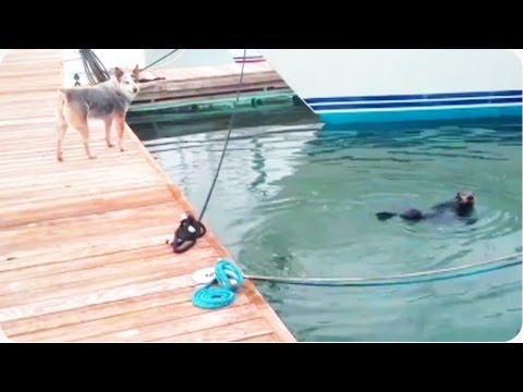 Sea Otter Plays with Australian Cattle Dog
