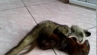 musang vs garangan