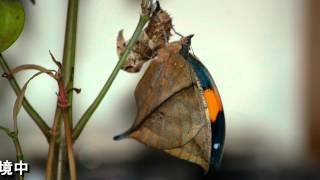 謝謝好朋友江添仁先生分享枯葉蝶羽化的精彩過程將江先生提供的枯葉蝶羽...